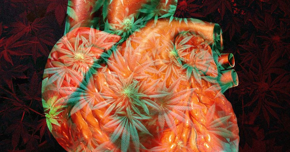Marijuana ndryshon strukturën e zemrës, gjithashtu dëmton aftësinë e organit për të funksionuar normalisht